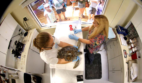 Sea turtle specialist Allie Bernstein and rehabiltation manager Melissa Ranly treat one of the turtles during rehabilitation of the animals at the sea turtle hospital at the Marine Science Center, in Ponce Inlet, Fla., Friday, April 19, 2013. (Joe Burbank/Orlando Sentinel) cci ID Newsgate# .B582862214Z.1