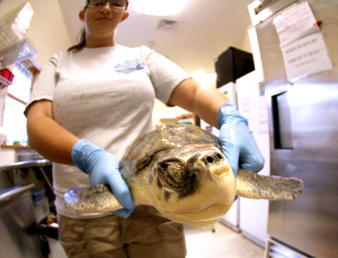 Sea turtle specialist Allie Bernstein carries one of the turtles during rehabilitation of the sick or injured animals at the sea turtle hospital at the Marine Science Center, in Ponce Inlet, Fla., Friday, April 19, 2013. (Joe Burbank/Orlando Sentinel) cci ID Newsgate# .B582862214Z.1