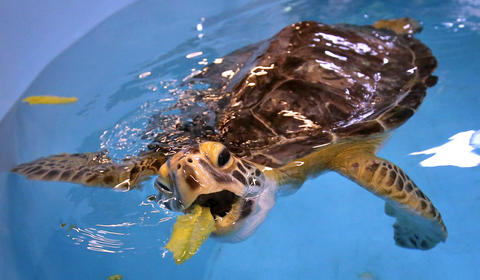 Feeding time during rehabilitation of injured turtles at the sea turtle hospital at the Marine Science Center, in Ponce Inlet, Fla., Friday, April 19, 2013. (Joe Burbank/Orlando Sentinel) cci ID Newsgate# .B582862214Z.1