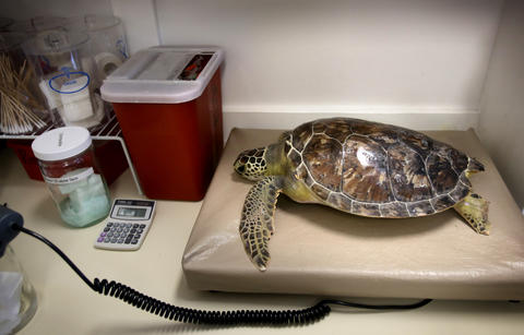 A sea turtle is weighed during rehabilitation of injured turtles at the sea turtle hospital at the Marine Science Center, in Ponce Inlet, Fla., Friday, April 19, 2013. (Joe Burbank/Orlando Sentinel) cci ID Newsgate# .B582862214Z.1