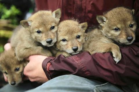 Four coyote puppies are held by Craig Reddell, carnivore technician from the Max McGraw Wildlife Foundation, as the puppies await processing before being returned to their den.
