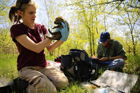 Heidi Garbe, Associate Research Scientist at the Max McGraw Wildlife Foundation, checks the health of one of two coyote puppies found in a northwest suburban forest preserve as Andy Burmesch, wildlife research technician, records data.