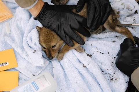 Fur is removed from a coyote puppy for DNA sample.