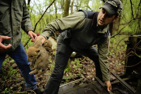 Mike Neri, a wildlife biologist for the Forest Preserve District of Cook County, plucks coyote puppies from under a rusting, abandoned vehicle in a west suburban forest preserve where a litter of eight was found.