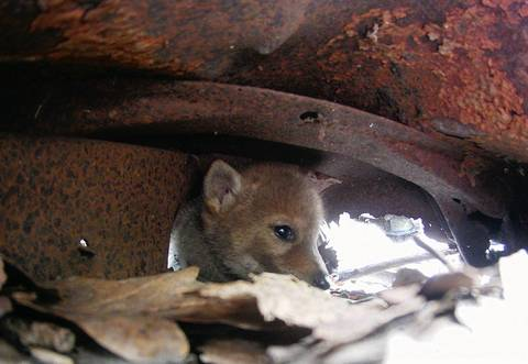 A small coyote puppy hides under a rusting, abandoned vehicle before biologists examined it.