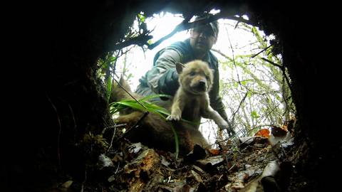 In an image from a video camera placed inside the coyote den, Mike Neri, returns a litter of eight coyote puppies after a team studied them.