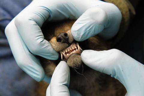 A researcher examines the teeth of a coyote puppy.