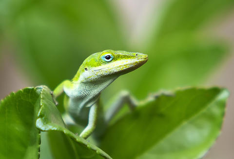A green anole eyes a visitor, on the campus of the University of Central Florida, May, 22, 2013.  (Joe Burbank/Orlando Sentinel) newsgate CCI