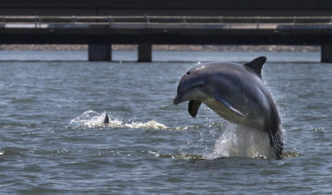 A dolphin jumps into the air off of the James River bridge as it and other dolphins work the water for fish Wednesday around midday.