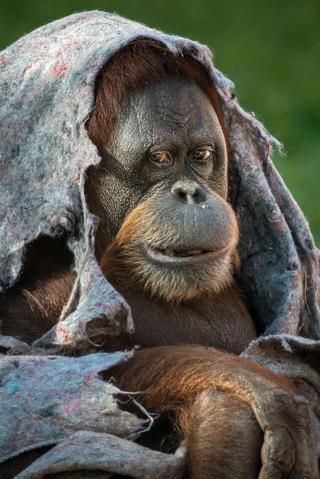 An orangutan covers itself with a blanket during winter time at Rio de Janeiro Zoo in Brazil on August 22, 2013.