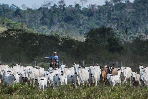 A cowboy drives cattle at a farm in Sao Felix do Xingu, Para state, northern Brazil, on August 8, 2013.