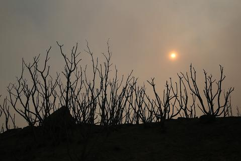 Charred manzanita bushes are seen as the sun rises through thick smoke during the Rim Fire on August 22, 2013 in Groveland, California. The Rim Fire continues to burn out of control and threatens 2,500 homes outside of Yosemite National Park. Over 1,000 firefighters are battling the blaze that was reduced to only 2 percent containment after it nearly tripled in size overnight.