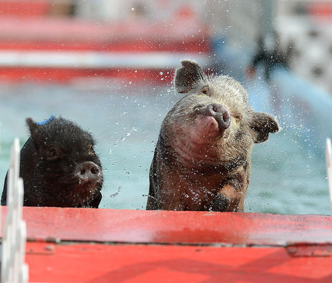 Pot Belly pigs from the Robinson's Pig Paddling Porkers Racing Show climb out of the pool during a race at The Great Allentown Fair Friday.