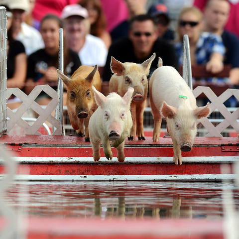 Waddle pigs from the Robinson's Pig Paddling Porkers Racing Show dive into the pool during a race at The Great Allentown Fair Friday.
