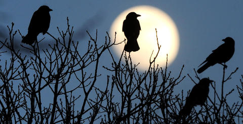 American crows and Fish crows are silhouetted against the rising moon  as they roost in trees in Nisky Hill Cemetery along  East Church Street in Bethlehem Wednesday evening January 28, 2010.