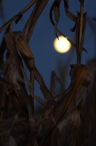 LOWER NAZARETH TWP., OCTOBER 30, 2001 - Field corn waits for harvest as a nearly-full moon rises on the horizon at Walnut Way Farm in Lower Nazareth Twp.  The harvest often continues into the evening hours, and with the advent of daylight savings time, farmers have a shortened work day and must have the combines off the roads by sunset.  The harvest at Walnut Way Farms continues through mid-November.  (Betty E. Cauler / TMC)  \for SUNMAG story.