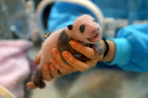 "A staff holds a panda cub in a thermal container at Chengdu Giant Panda Breeding and Research Base on September 5, 2013 in Chengdu, Sichuan Province of China. The panda cub ""San Er"" is the only survivor of the triplets that was given born by a 18-year-old giant panda."
