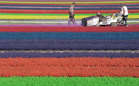 Horticulturists dye heather in a field on September 6, 2013 in the eastern French town of Bischoffsheim.