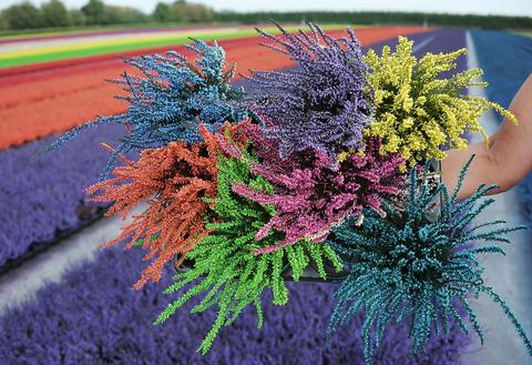 A horticulturist holds a bunch of dyed heather on September 6, 2013 in the eastern French town of Bischoffsheim.