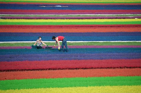 Horticulturists work in a field of dyed heather on September 6, 2013 in the eastern French town of Bischoffsheim.