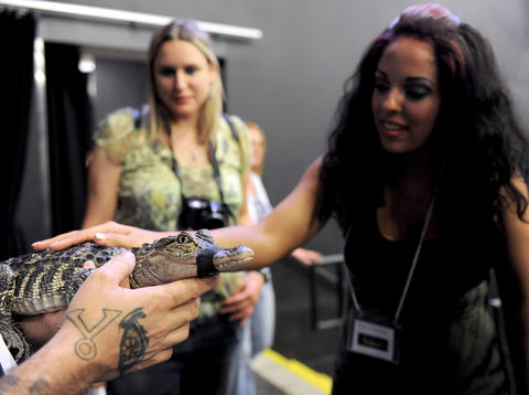 Heidy Prestol, of Parsippany, NJ, pets an alligator at ParaFest 2013 held at the Sands Bethlehem Events Center. It will run from Friday, September 6 through Sunday, September 8, 2013. The alligator is from Grim Reaper reptile in North Providence, R.I.