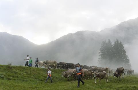 "Farmers drive the cattle downhill from the Alps during the so-called Viehscheid drive on September 11, 2013 near the village of Bad Hindelang, southern Germany. During the traditional ""Almabtrieb"" event, cow herds are brought from alpine pastures, where they stay during the summer, to their stables in the valley."