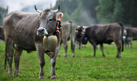 Cows are pictured during the annual Viehscheid cattle drive on September 11, 2013 near Bad Hindelang, Germany. The herders lead the cattle in May or June up into the Bavarian Alps to spend the summer grazing on alpine meadows and lead them back down to farms in the valley in September. If all the animals survive the summer then the herders place a flower wreath around the lead cow for the descent.