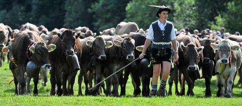 An alpine cattle herder escorts cows down into the valley during the annual Viehscheid cattle drive on September 11, 2013 near Bad Hindelang, Germany. The herders lead the cattle in May or June up into the Bavarian Alps to spend the summer grazing on alpine meadows and lead them back down to farms in the valley in September. If all the animals survive the summer then the herders place a flower wreath around the lead cow for the descent.