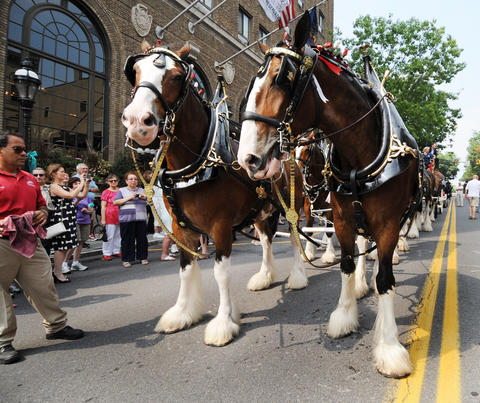 The Budweiser Clydesdales walk on Main Street Thursday afternoon.