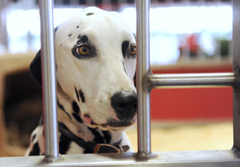 Brewer, a 3 year old Dalmatian, arrives with the Budweiser Clydesdales at the Bethlehem Municipal Ice Skating Rink on Monday. They are here for deliveries in the valley and will be in here until next week.