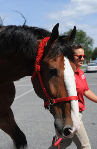 The Budweiser Clydesdales arrive at the Bethlehem Municipal Ice Skating Rink on Monday. Handler, Brittny Corrigan, walks Chuck to his temporary stable. They are here for deliveries in the valley and will be in here until next week.