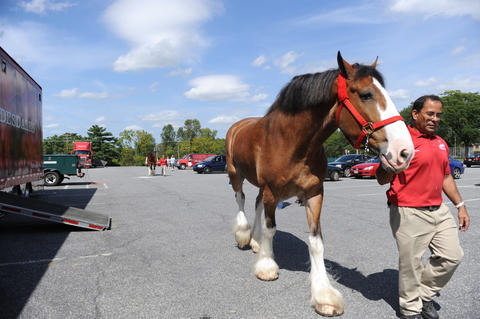 The Budweiser Clydesdales arrive at the Bethlehem Municipal Ice Skating Rink on Monday. Handler, Manny Meza, walks Diamond to his temporary stable. They are here for deliveries in the valley and will be in here until next week.