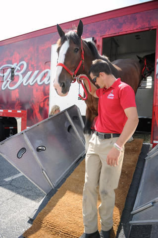 The Budweiser Clydesdales arrive at the Bethlehem Municipal Ice Skating Rink on Monday. Eric Soto, the Assistant Supervisor of the East Coach Hitch, leads Greg out of the truck. They are here for deliveries in the valley and will be in here until next week.