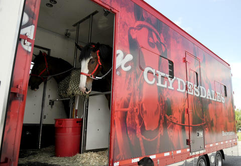 The Budweiser Clydesdales arrived at the Bethlehem Municipal Ice Skating Rink on Monday. They are here for deliveries in the valley and will be in here until next week.