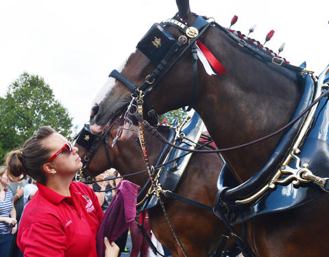 Handler, Brittny Corrigan talks to one of the Budweiser Clydesdales in downtown Easton on Friday, September 13, 2013. The Budweiser Clydesdales marched through downtown Easton up to College Hill delivering cases of beer along the way. .