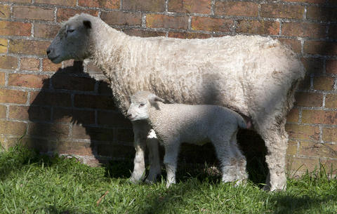 A mother sheep and her lamb enjoy the sunshine in their Francis St. fenced area in Colonial Williamsburg.