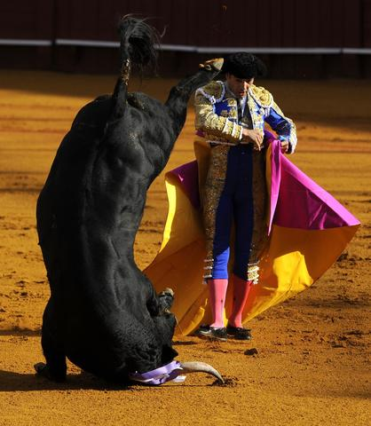 Spanish matador Manuel Jesus 'El Cid' performs a pass on a bull during a bullfight at the Maestranza bullring in Sevilla on September 28, 2013.