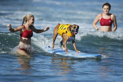 A dog competes in the Surf City surf dog competition in Huntington Beach, California, September 29, 2013.