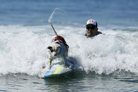 A dog wags its tail as it competes in the Surf City surf dog competition in Huntington Beach, California, September 29, 2013.