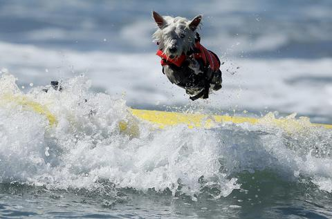 Surf Dog Joey, a West Highland Terrier, bails on his surfboard while competing in the Surf City surf dog competition in Huntington Beach, California, September 29, 2013.