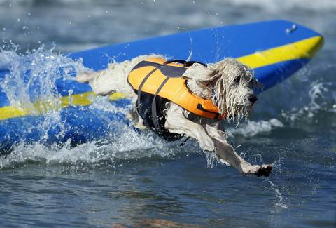 A dog wipes out while competing in the Surf City surf dog competition in Huntington Beach, California, September 29, 2013.