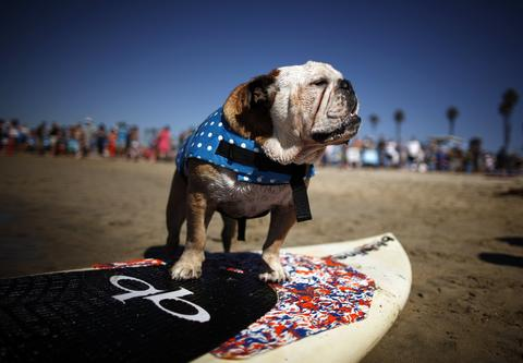 A dog prepares to compete in the Surf City surf dog competition in Huntington Beach, California, September 29, 2013.
