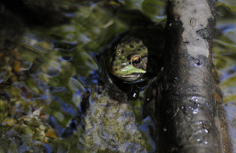 A frog occupies a small mountain brook along the trail in Kent.