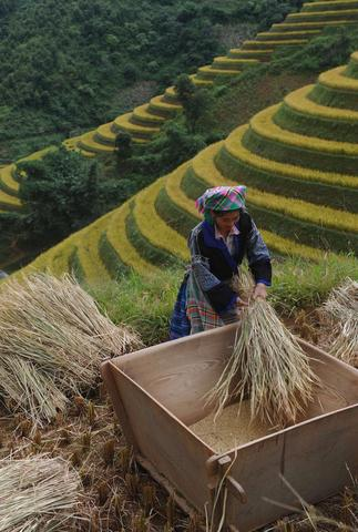 This picture shows a Hmong hilltribe woman harvesting a rice terrace field at Mu Cang Chai district, northern Vietnamese province of Yen Bai. The World Bank on October 7, 2013 lowered its 2013 growth forecast for East Asian developing countries to 7.1 percent and warned that a prolonged US fiscal crisis could be damaging to the region.