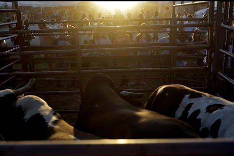 Bulls wait as a crowd gathers outside to watch Saturday's bull riding competition at the Isle of Wight County Fair. Twelve riders competed Saturday evening in an attempt to ride a bull for eight seconds.