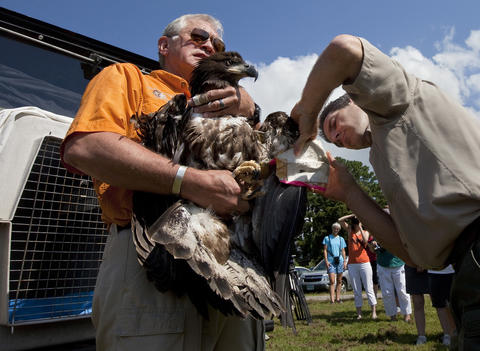 "Ed Clark, Jr., president and founder of The Wildlife Center of Virginia, holds a rescued eaglet while Steve Living removes an adhesive protective ""bumper"" before releasing the young bald eagle a Jamestown Beach Park in James City County on Friday. The eaglet was blown out of its nest at Jamestown Island during a severe storm on June 13."