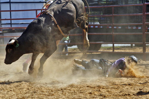Bradney Tart of Charlotte, North Carolina hits the ground after being bucked off a bull during Sunday's bull riding competition at the Isle of Wight County Fair. Fifteen riders competed Sunday afternoon in an attempt to ride a bull for eight seconds.