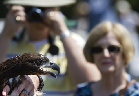 Spectators admire a rescued eaglet prior to its release at Jamestown Beach Park in James City County on Friday. The eaglet was blown out of its nest at Jamestown Island during a severe storm on June 13.