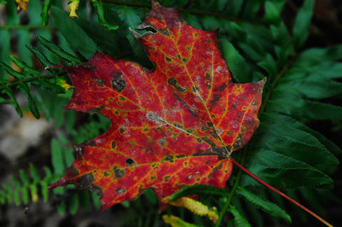 A fallen leaf sits on a fern along the trail.