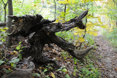 With a little imagination, a split and fallen tree takes the shape of a dragons head.